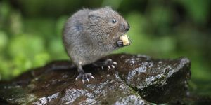 The Water Vole.