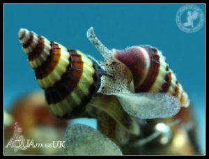 Assassin snails- Bumblebee