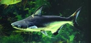 Pangasius shark